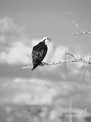 Osprey On Branch Bw Poster by Lynda Dawson-Youngclaus