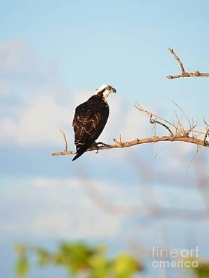 Osprey On Branch Poster