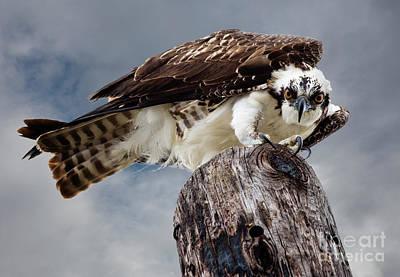 Osprey Stare Poster