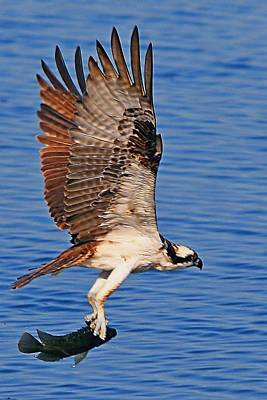 Osprey With A Fish Poster