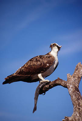 Osprey With Fish Poster by Bradford Martin