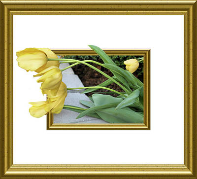 Out Of Frame Yellow Tulips Poster by Kristin Elmquist