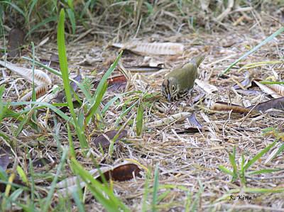 Oven Bird Walking Around Poster