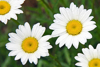 Ox-eye Daisy Poster