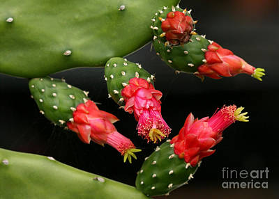 Paddle Cactus Flowers Poster