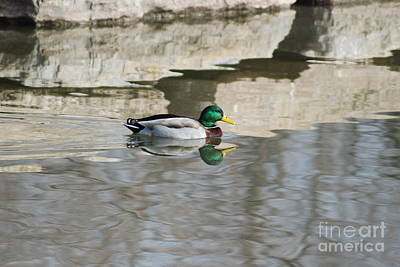 Poster featuring the photograph Paddling Mallard by Mark McReynolds