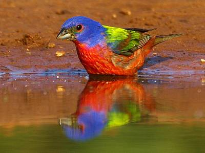 Painted Bunting Reflecting Poster by Myrna Bradshaw