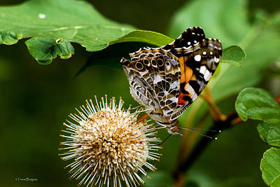 Poster featuring the photograph Painted Lady On Button Bush by Travis Burgess