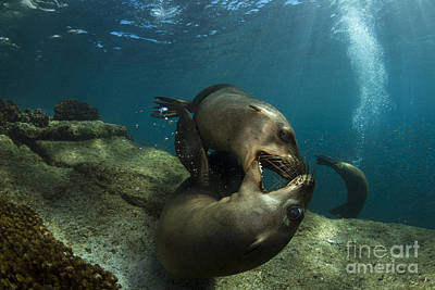 Pair Of Playful Sea Lions, La Paz Poster by Todd Winner