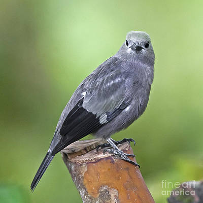 Palm Tanager Poster