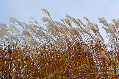 Pampas Grass In The Wind 1 Poster by Mary Machare