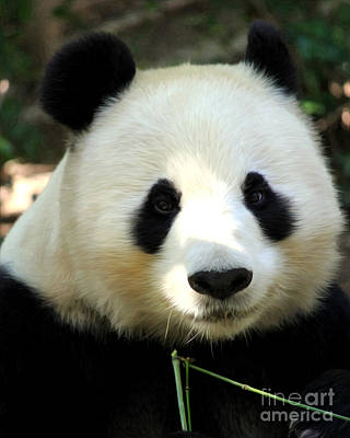 Poster featuring the photograph Panda by Anne Raczkowski