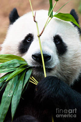 Panda Eating Bamboo Poster by Konstantin Kalishko