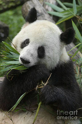 Poster featuring the photograph Panda Having Lunch by Craig Lovell