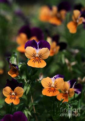 Pansy Garden Poster