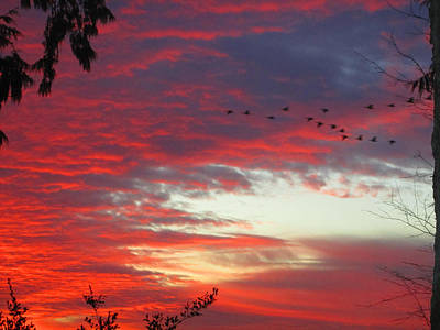 Papaya Colored Sunset With Geese Poster by Kym Backland