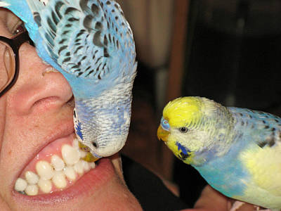 Poster featuring the photograph Parakeet Dentists by Kimberly Mackowski