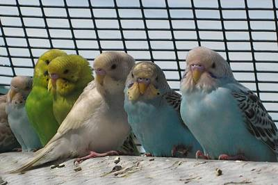Parakeets In A Row Poster by Bonnie Goedecke