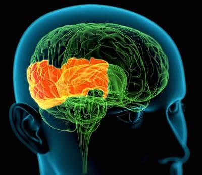 Parietal Lobes In The Brain, Artwork Poster by Roger Harris