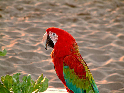 Poster featuring the photograph Parrot In Maui by Rob Green