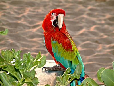 Poster featuring the photograph Parrot Sunning On The Beach by Rob Green