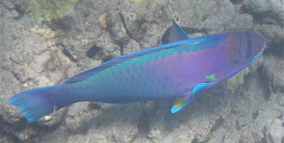 Poster featuring the digital art Parrotfish by Erika Swartzkopf