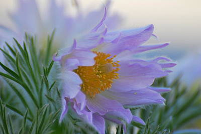 Pasque Flower In The Morning Poster by Anne Gordon