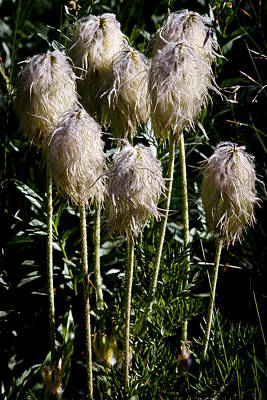 Pasqueflower Seedhead Poster by David Patterson