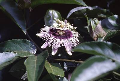 Poster featuring the photograph Passion Flower by Craig Wood