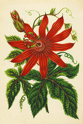 Passion Flower Poster by Sheila Terry