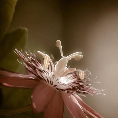 Passion Flower Poster