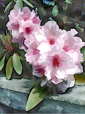 Pastel Pink Rhodendron At Garden Wall Poster