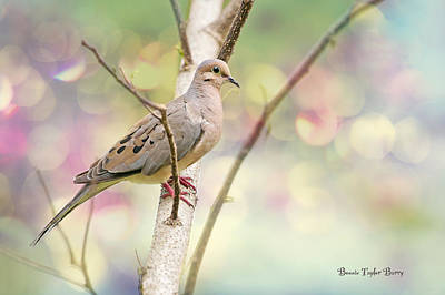 Peaceful Mourning Dove Poster by Bonnie Barry