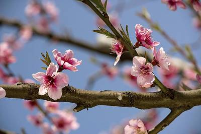 Peach Blossom (prunus Persica) Poster by Bob Gibbons