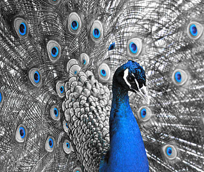 Peacock 1 Poster by Sumit Mehndiratta