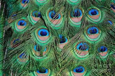 Peacock Feathers 2 Poster