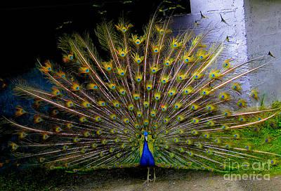 Peacock Splendour II Poster by Al Bourassa
