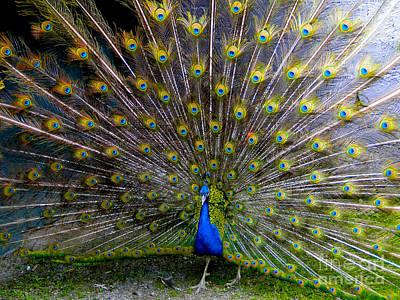 Peacock Splendour IIi Poster by Al Bourassa