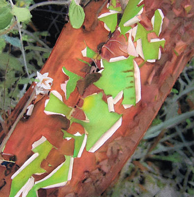 Peeling Madrone Poster