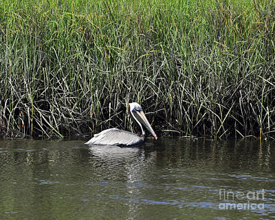 Pelican Swimming Poster by Al Powell Photography USA