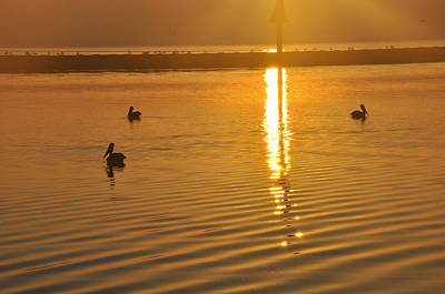 Pelicans And Sunrise Poster
