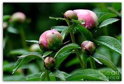 Poster featuring the photograph Peony Buds by Tanya  Searcy