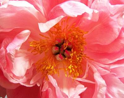 Poster featuring the photograph Peony by Peter Mooyman