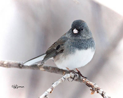 Perched Dark-eyed Junco Poster by Jeff Swanson
