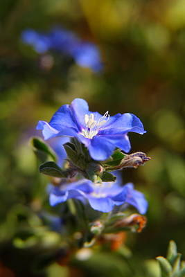 Perennial Blue Flower Poster
