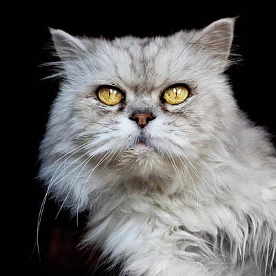 Persian Gray Cat Poster by Rogdy Espinoza Photography