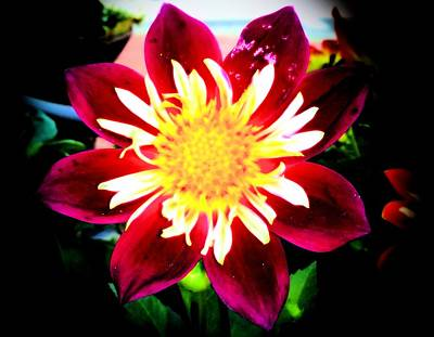 Poster featuring the photograph Personally Dahlia by Lisa Brandel