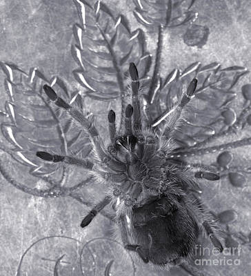 Pet Rose Hair Tarantula On Antique Silverplate Poster by Janeen Wassink Searles