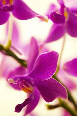 Phalaenopsis Flying Fire 'sweetheart' Poster by Maria Mosolova