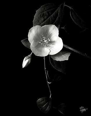 Philadelphus In Black And White Poster